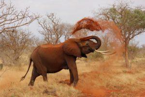 アフリカのゾウ